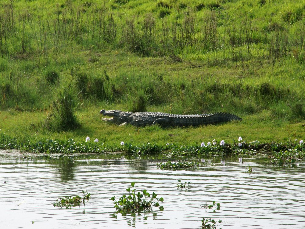 Krokodil am Flussuffer im Chitwan Nationalpark