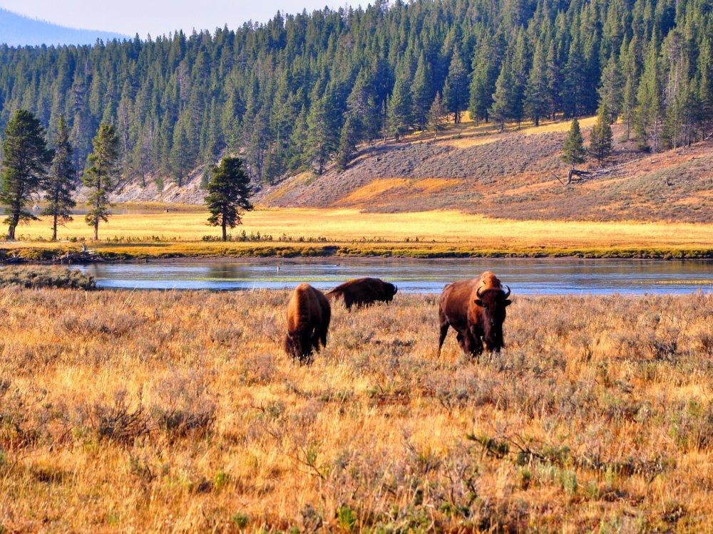 Bisons bei Grasen im Yellowstone