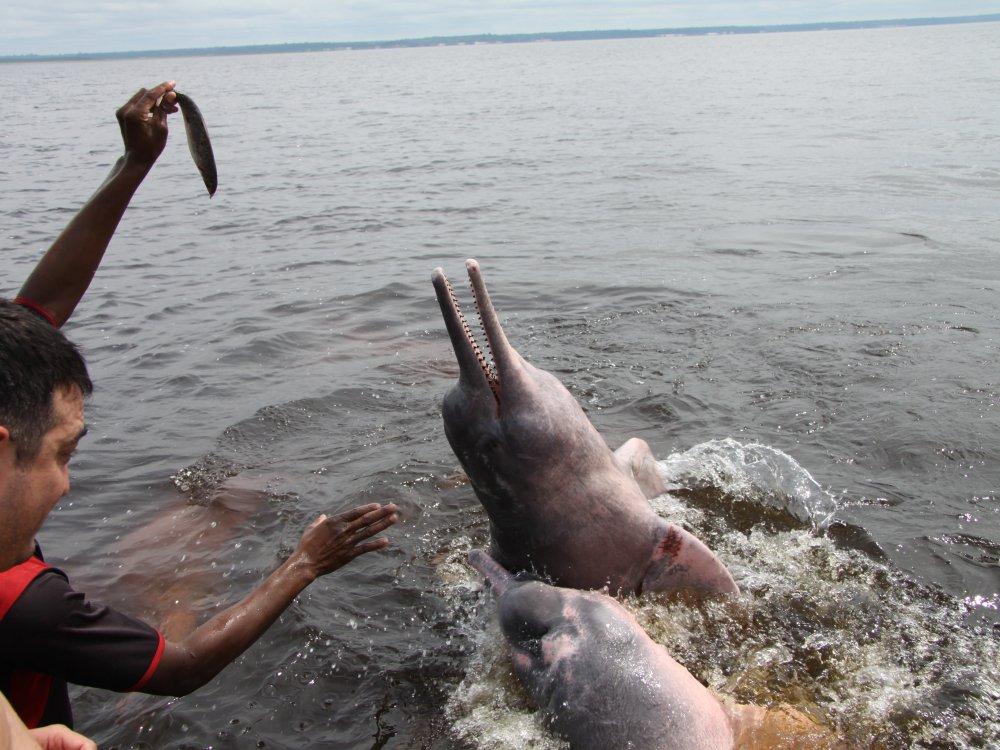 Delphin Amazonas_2