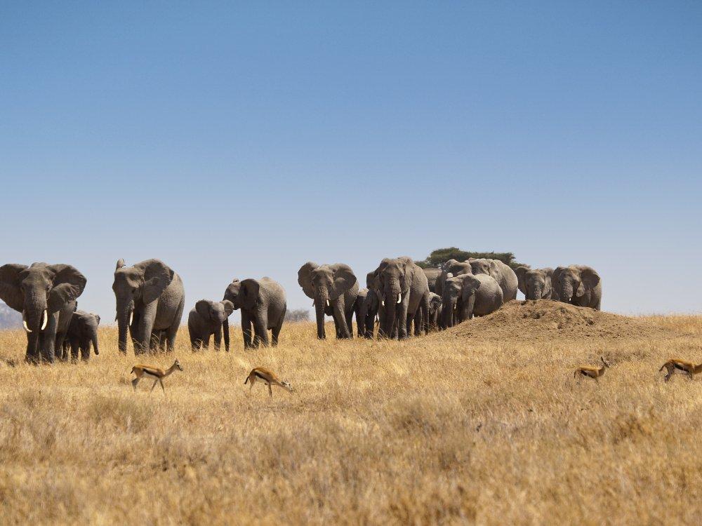 Elefantenherde und Gazellen in der Serengeti