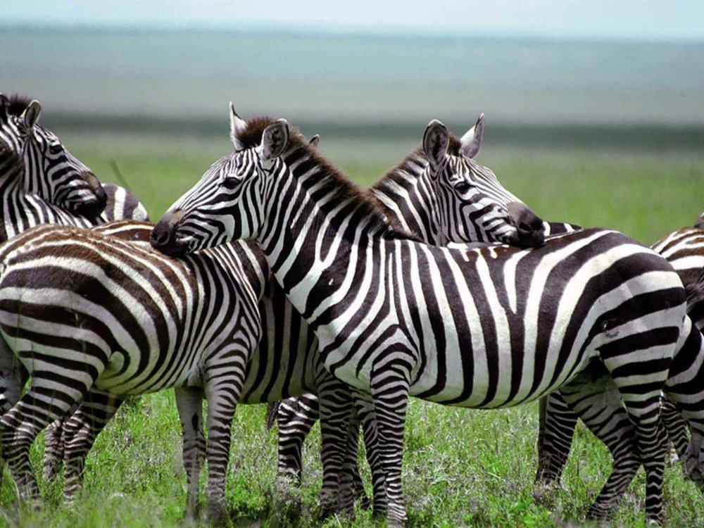 Kenia Camping Safari VII Zebras