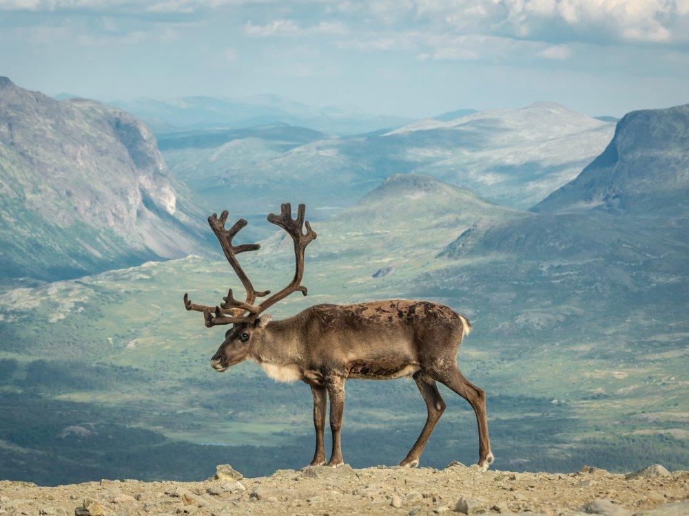 Elch in Norwegen