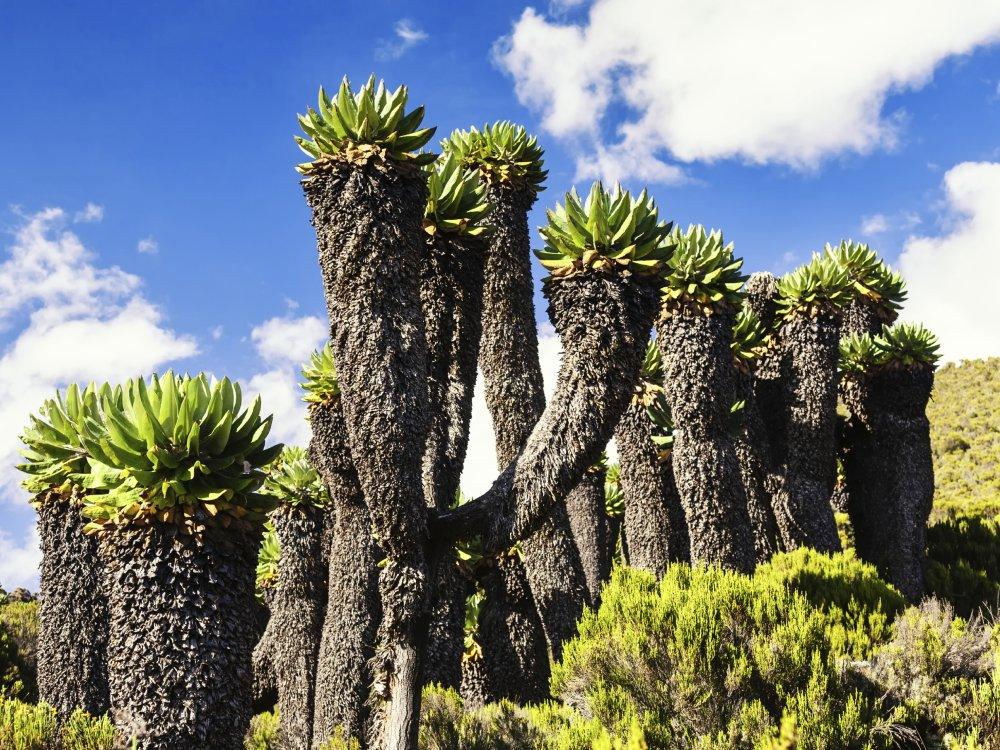 Riesige Senecien am Kilimandscharo