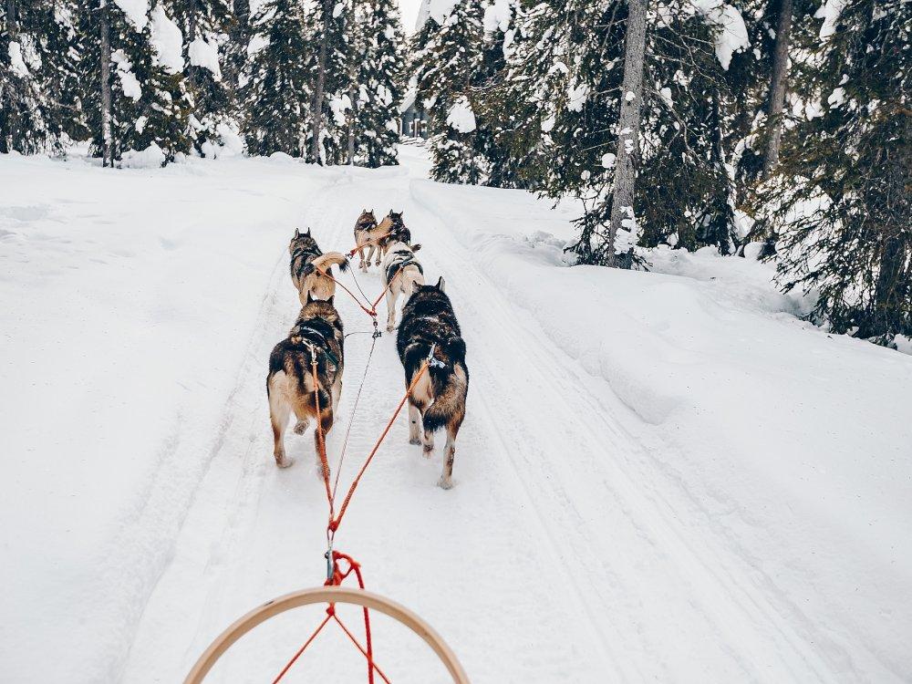 Husky Hundeschlittentour im verschneiten Winterwald