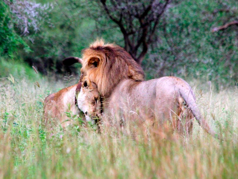 Löwenpaar Tansania