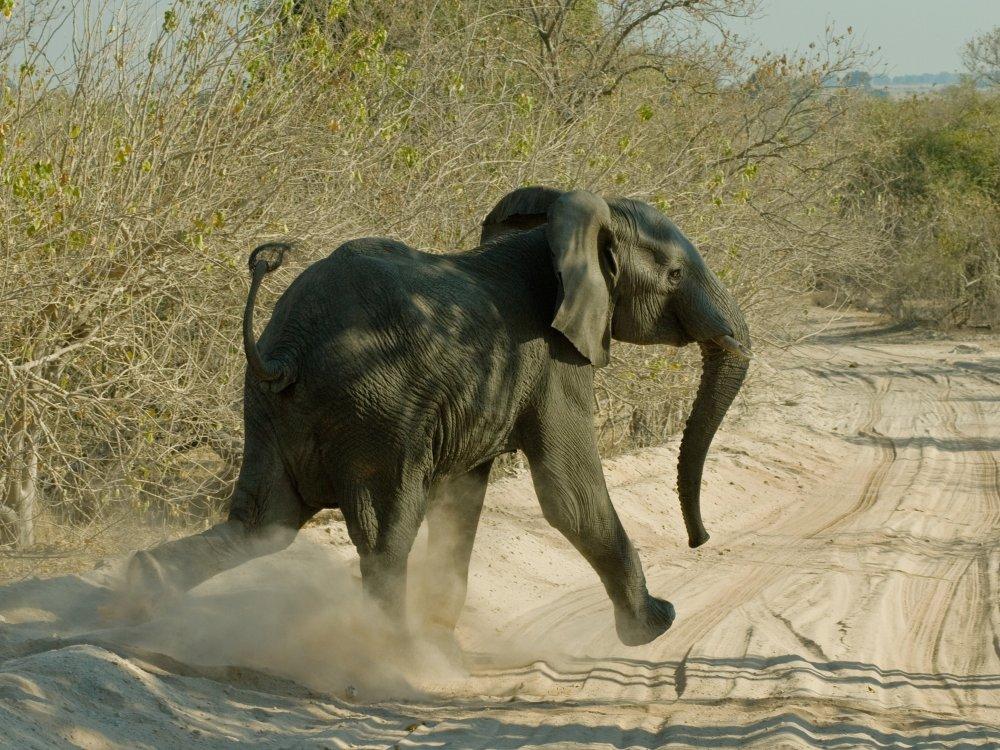 Junger Elefant überquert die Piste