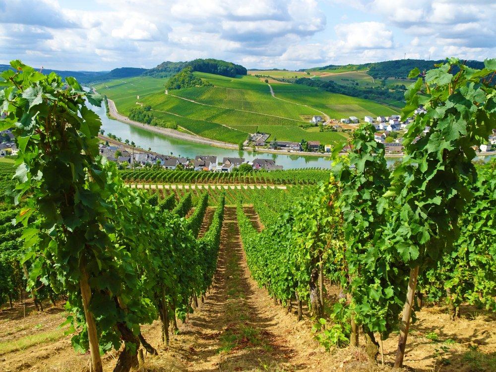 Moselsteig Weinreben und Moselblick bei Nittel