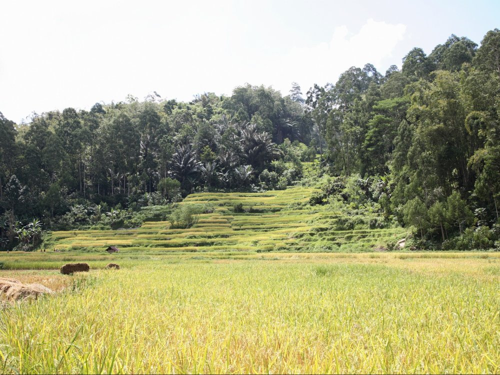Reisfeld in Toraja