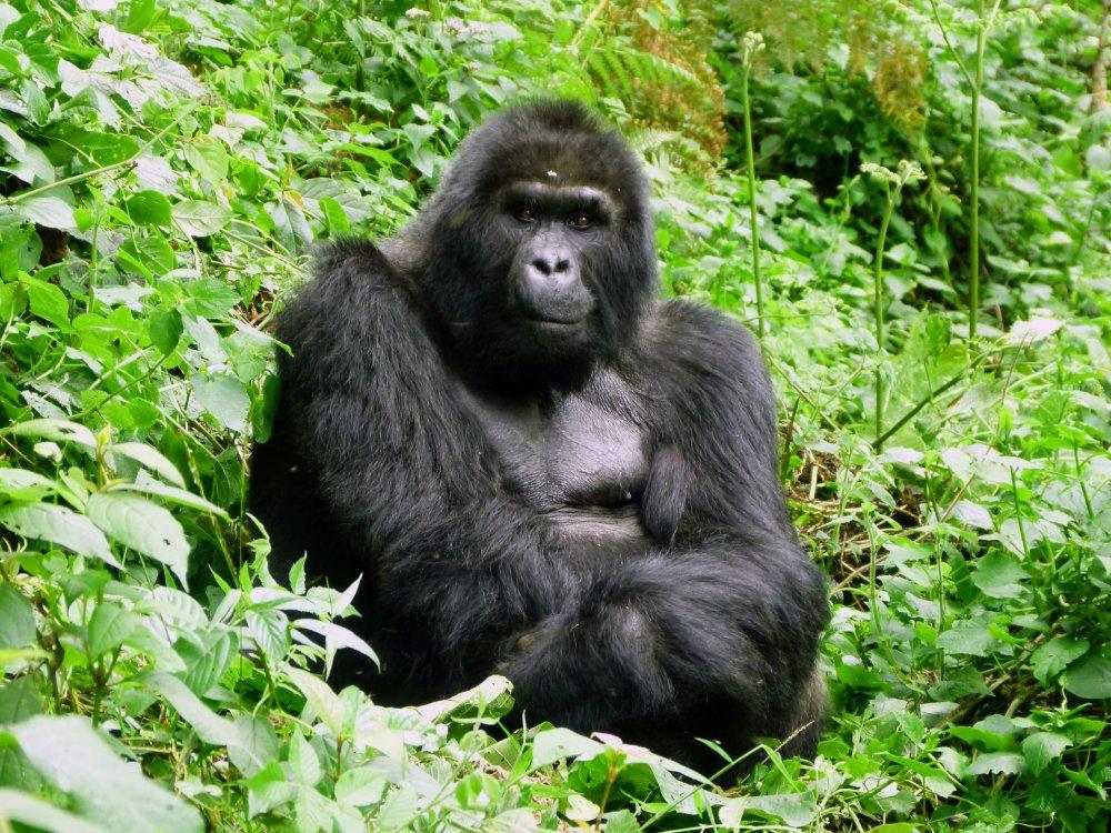 Bwindi NP_Gorilla Senior