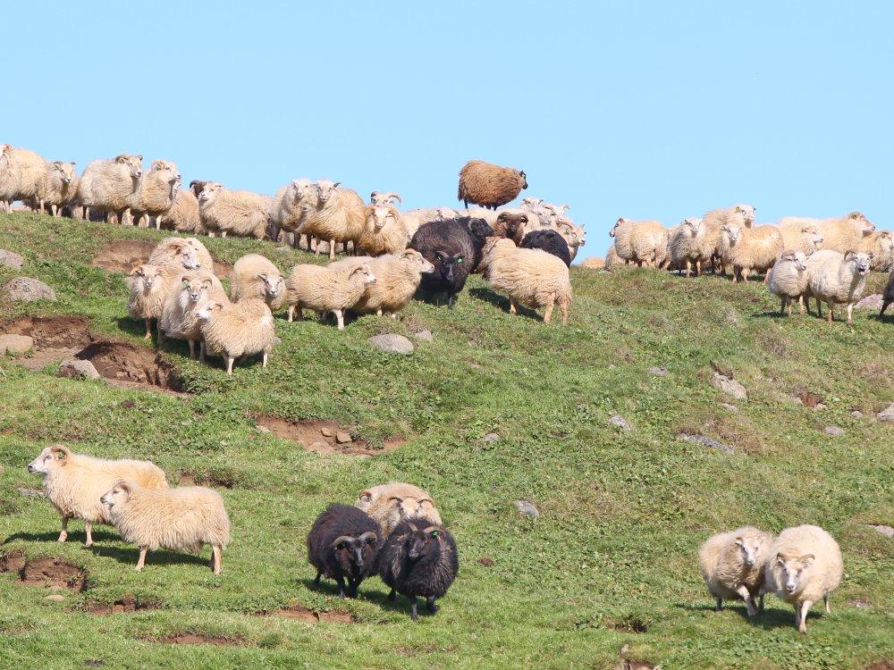Schafe auf einer Weide in Island