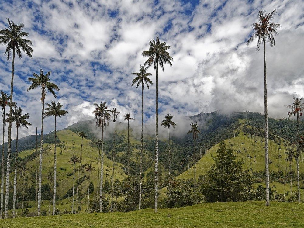 Riesige Wachspalmen im Cocora Tal
