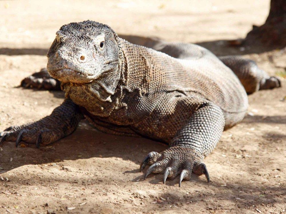 Waran im Komodo Nationalpark