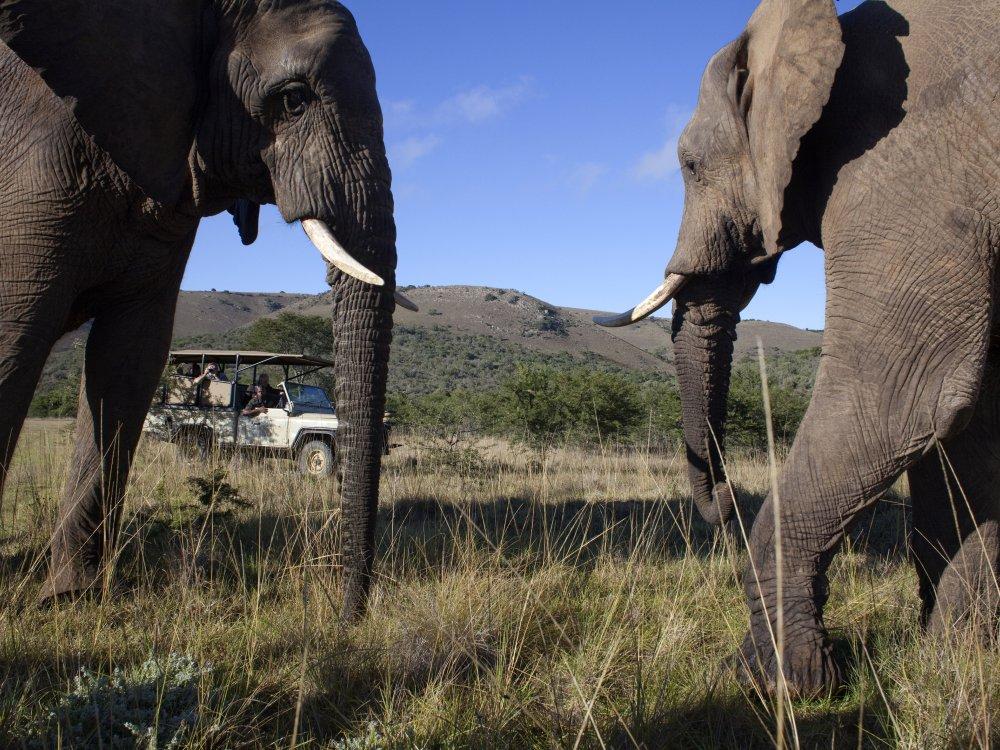 Elefanten Pirschfahrt Krüger Nationalpark