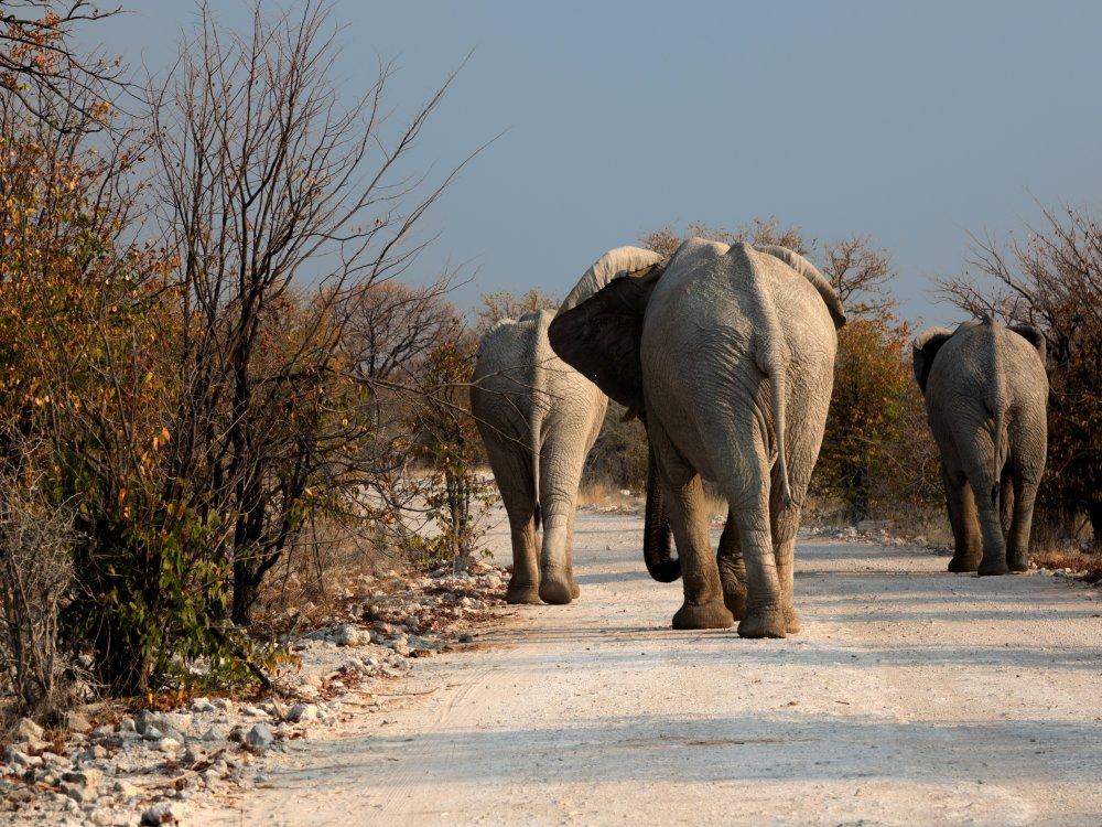 Elefanten auf einer Piste im Chobe