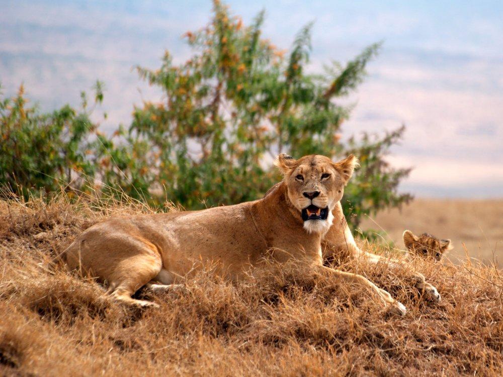 Putziger Löwen Nachwuchs im Ngorongoro Krater