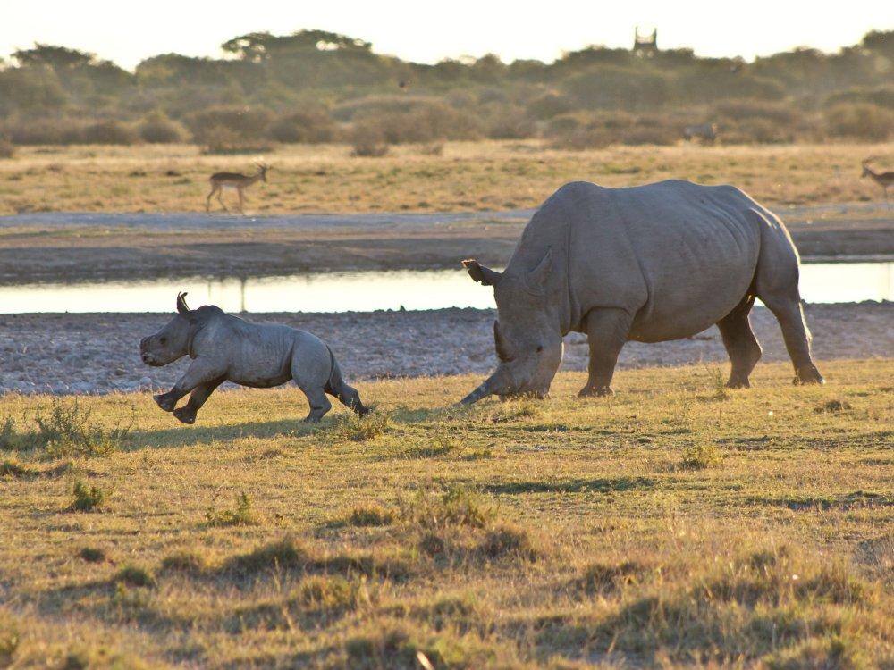 Nashorn mit Nachwuchs bei den Victoria Falls in Sambia