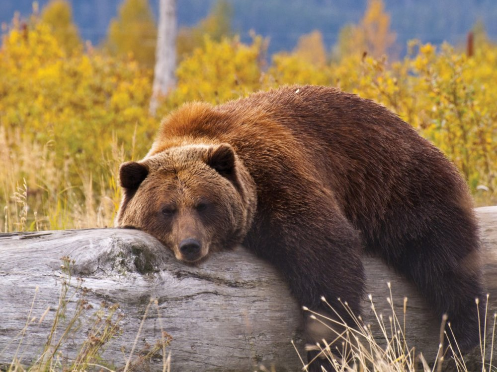 Braunbär Kanada
