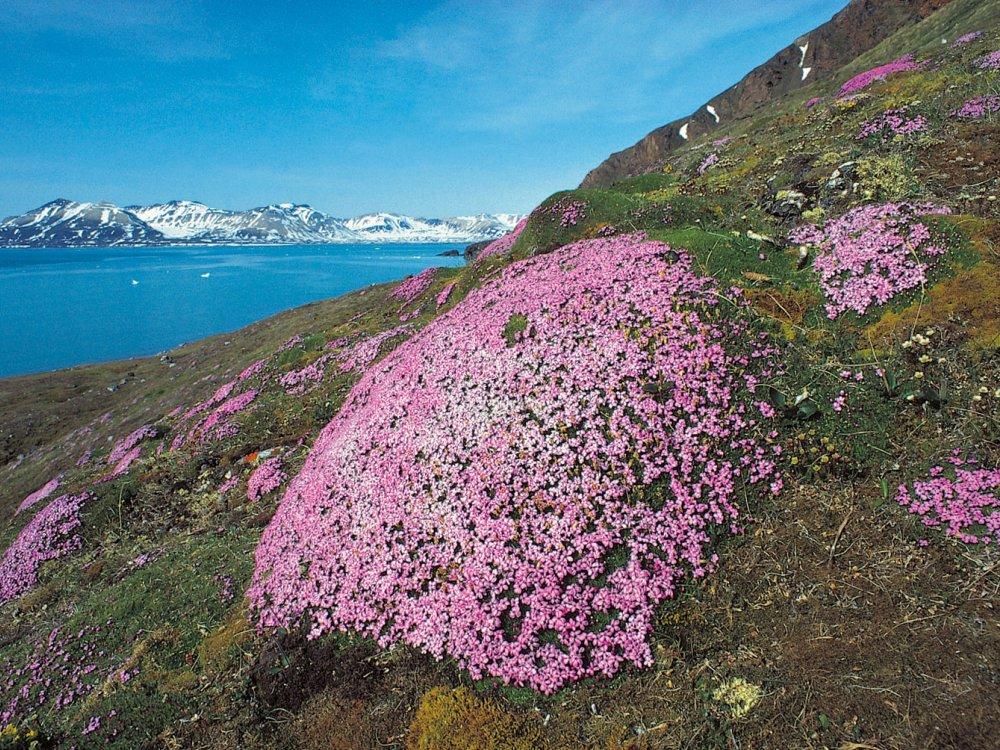 Blühende Landschaft auf Spitzbergen