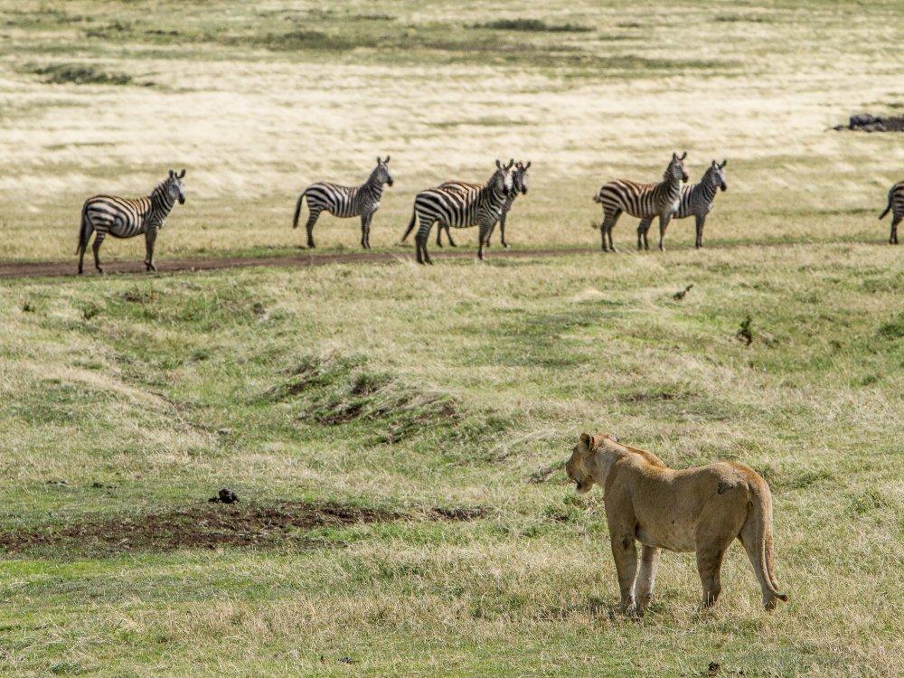 Jagdszene Ngorongoro