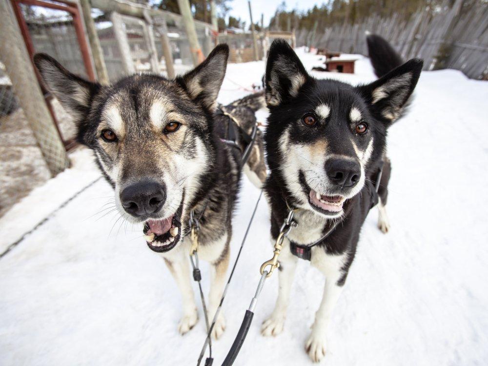 Hundeschlitten Safari mit Husky