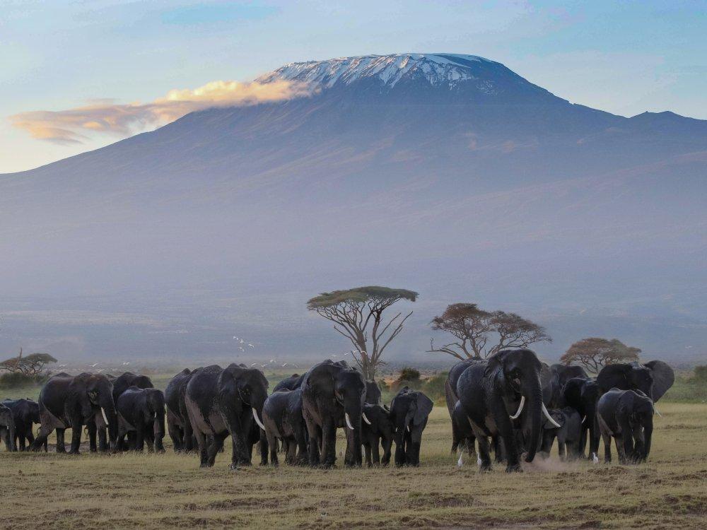 Elefanten vor dem Kilimandscharo im Amboseli Nationalpark