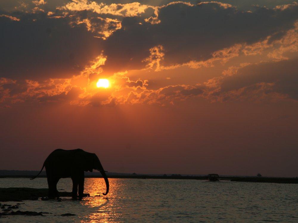 Elefant am Chobe River bei Sonnenuntergang