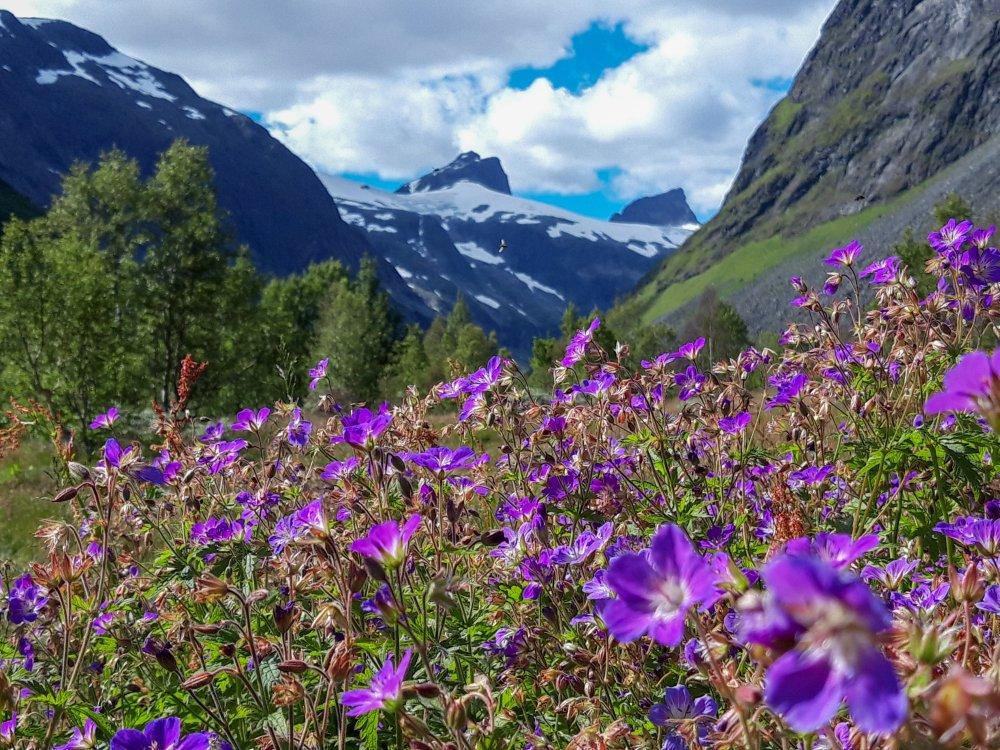 Blumenwiese im Jotunheimen Nationalpark