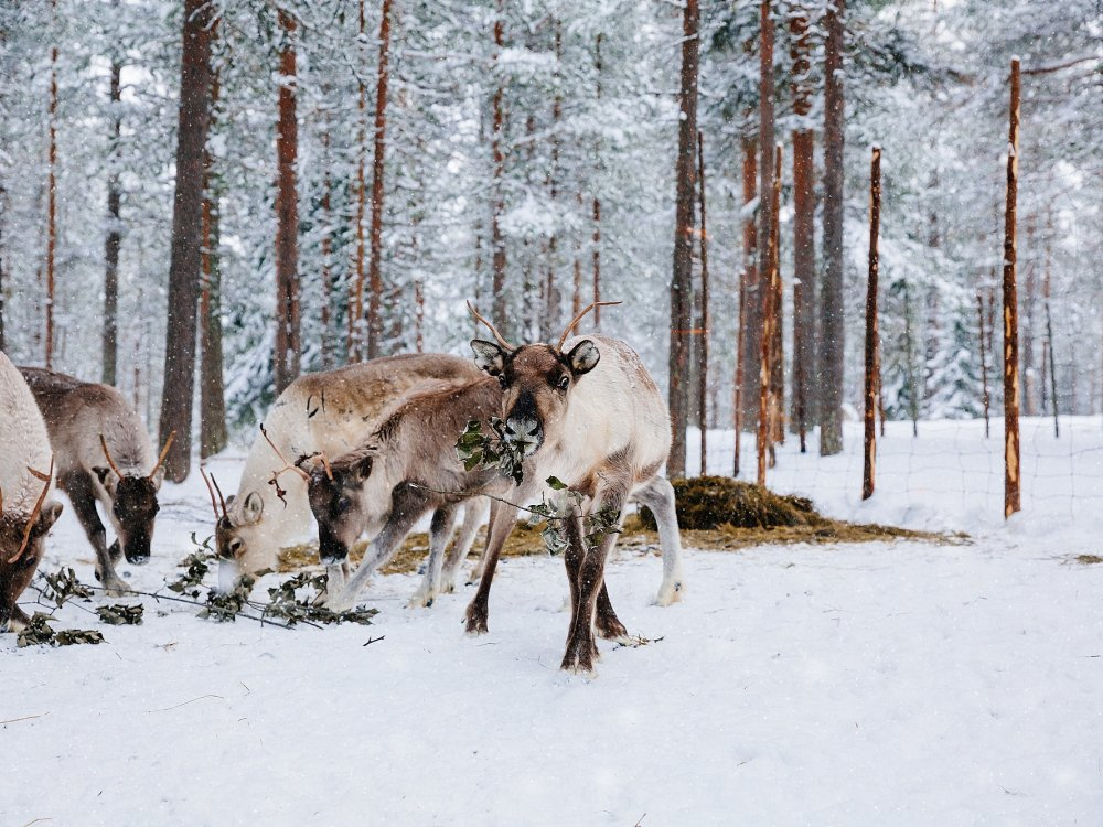 Rentiere im Winterwald