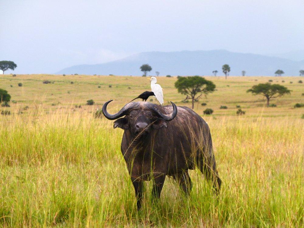 Büffel mit Vogel im Murchison Falls Nationalpark