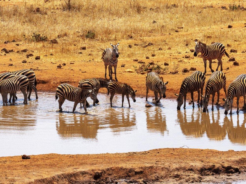 Zebras am Wasserloch im Tsavo Nationalpark