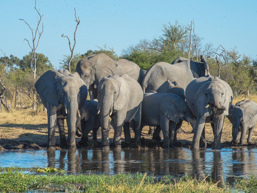 Elefanten am Khwai River im Moremi Game Reserve Botswana