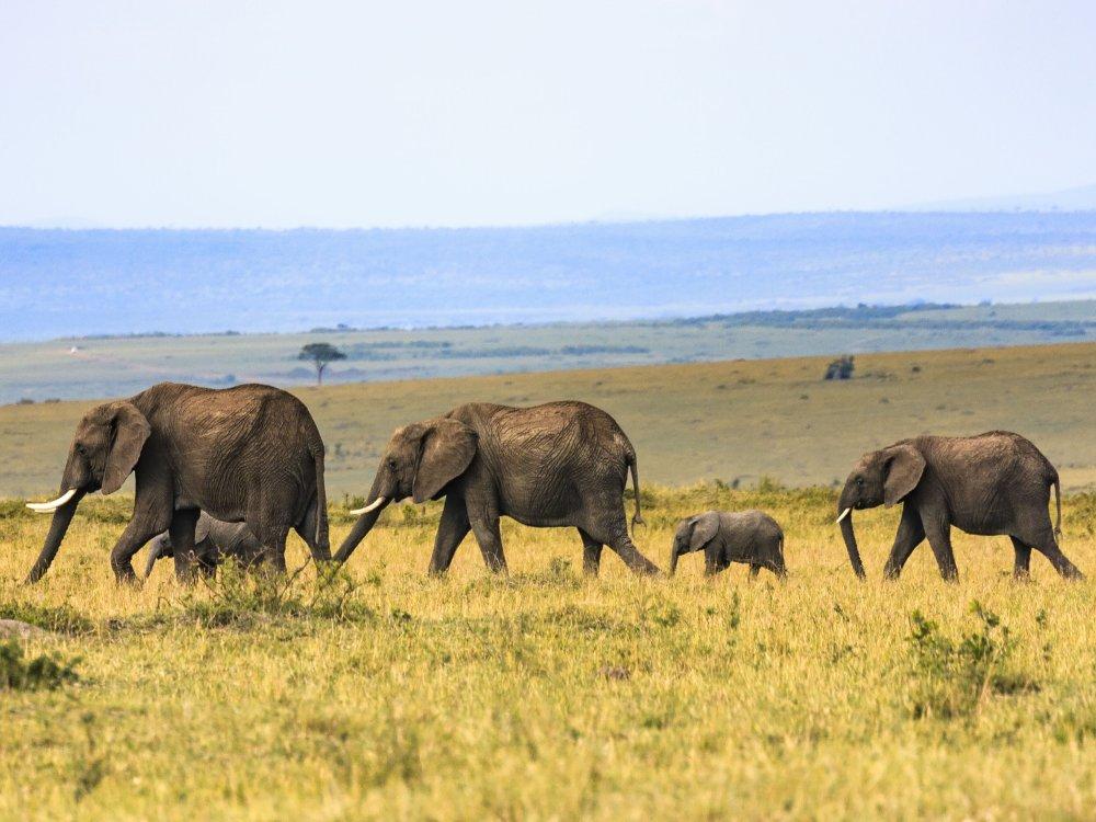 Masai Mara Elefanten