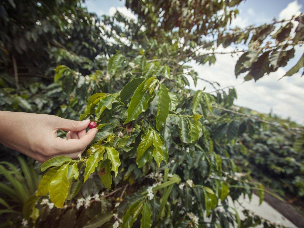 Armenia Coffee Farm Coffee Bean