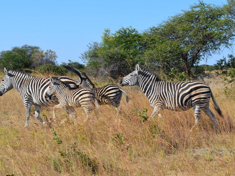 118U10020_Drifters_zebra