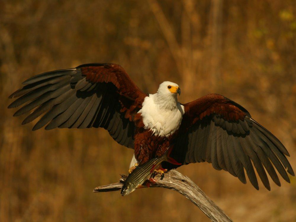 Seeadler im Okavango Delta in Botswana