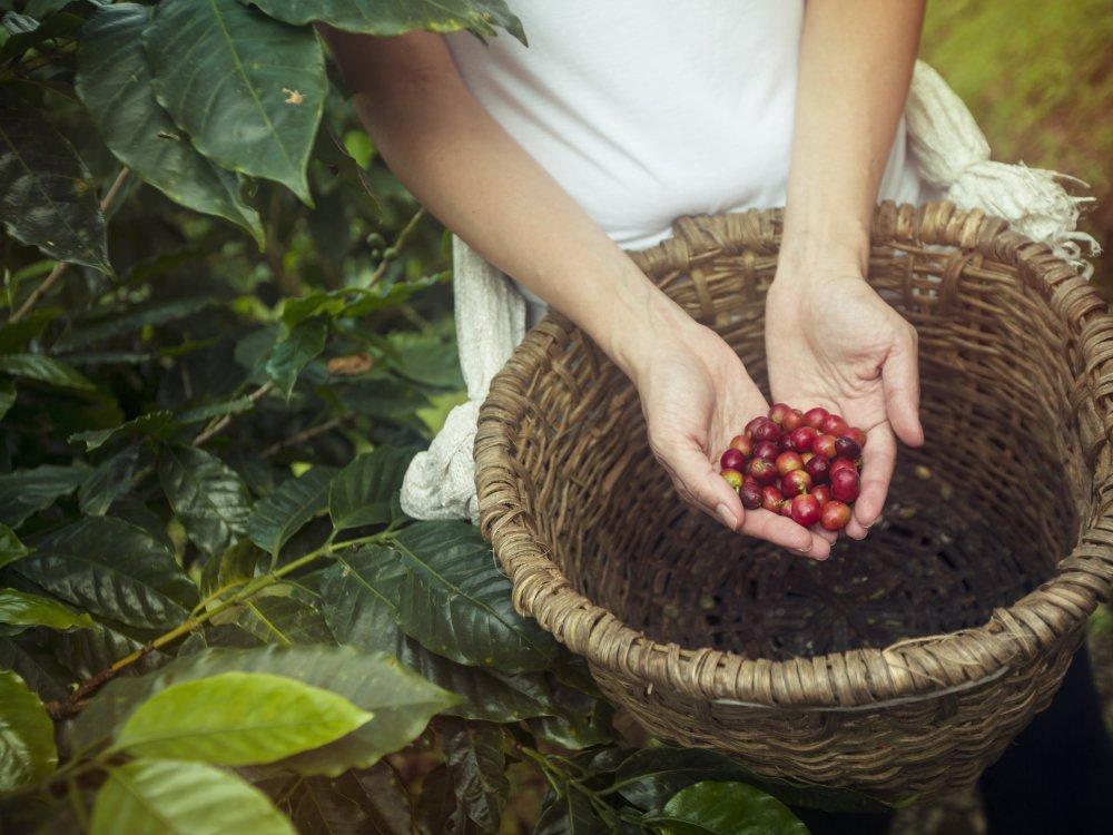La Fortuna Kaffeeplantage