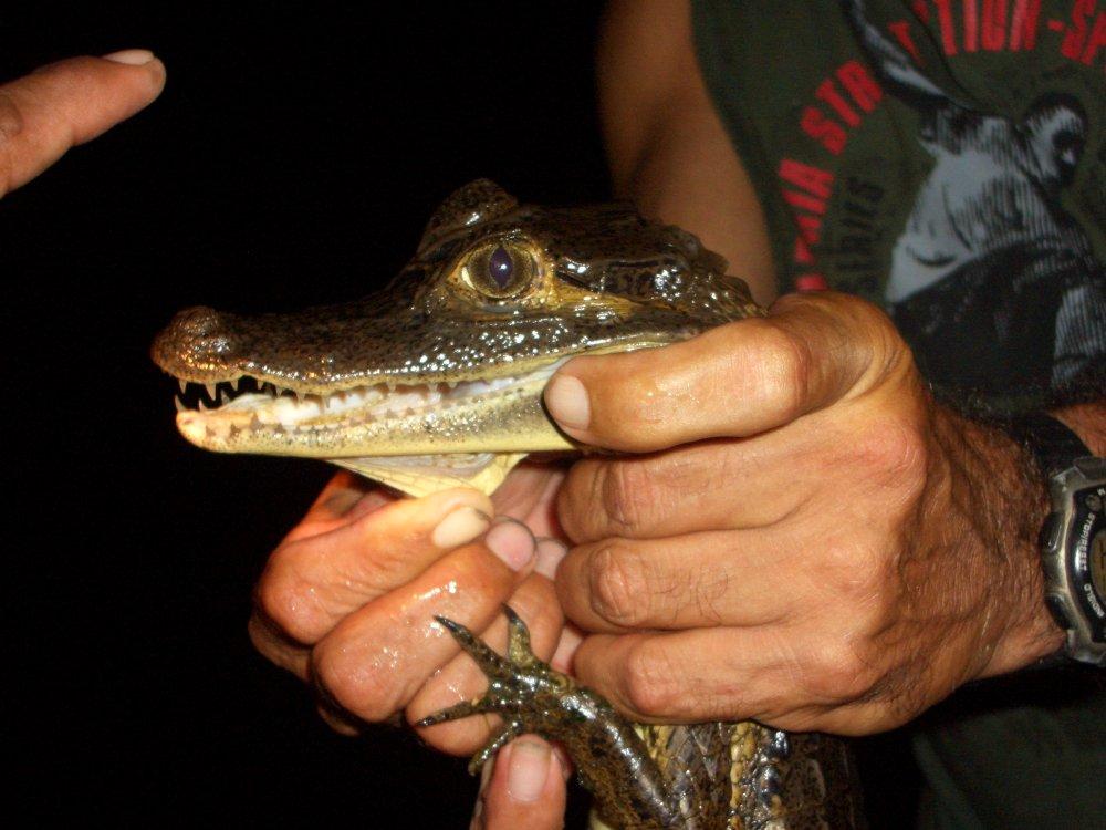 Krokodil_Amazonas