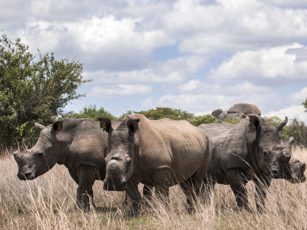 Nashörner im Matobo Nationalpark in Simbabwe