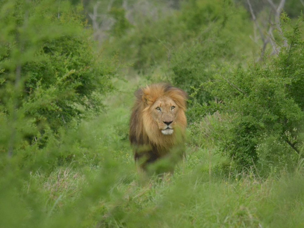 118U10020_Drifters_Male Lion