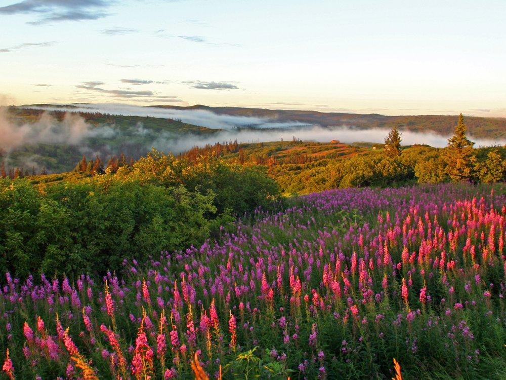 Blühende Natur in Alaska