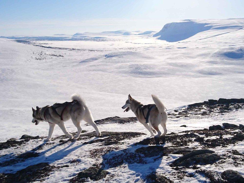 Huskytrekking - Auf Schneeschuhen Lappland entdecken