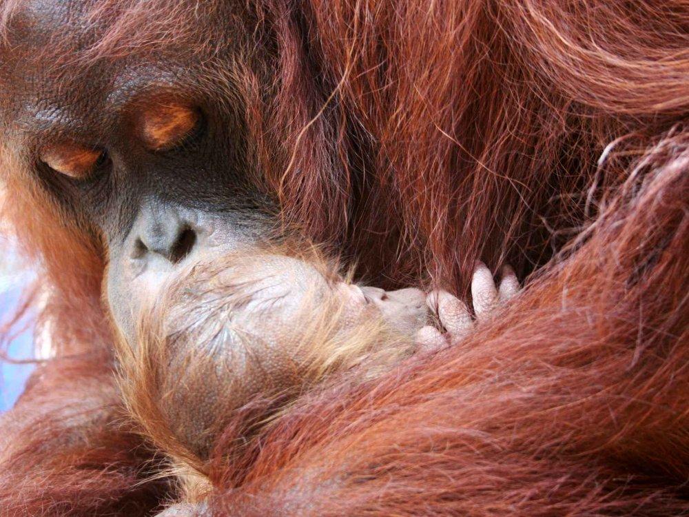 103Y22005 Orang Utan Projekt im Matang Wildlife Centre Karte