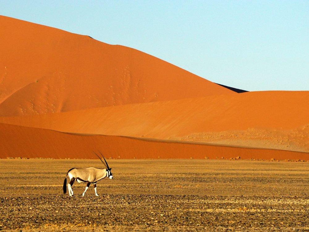 Sossusvlei Antilope