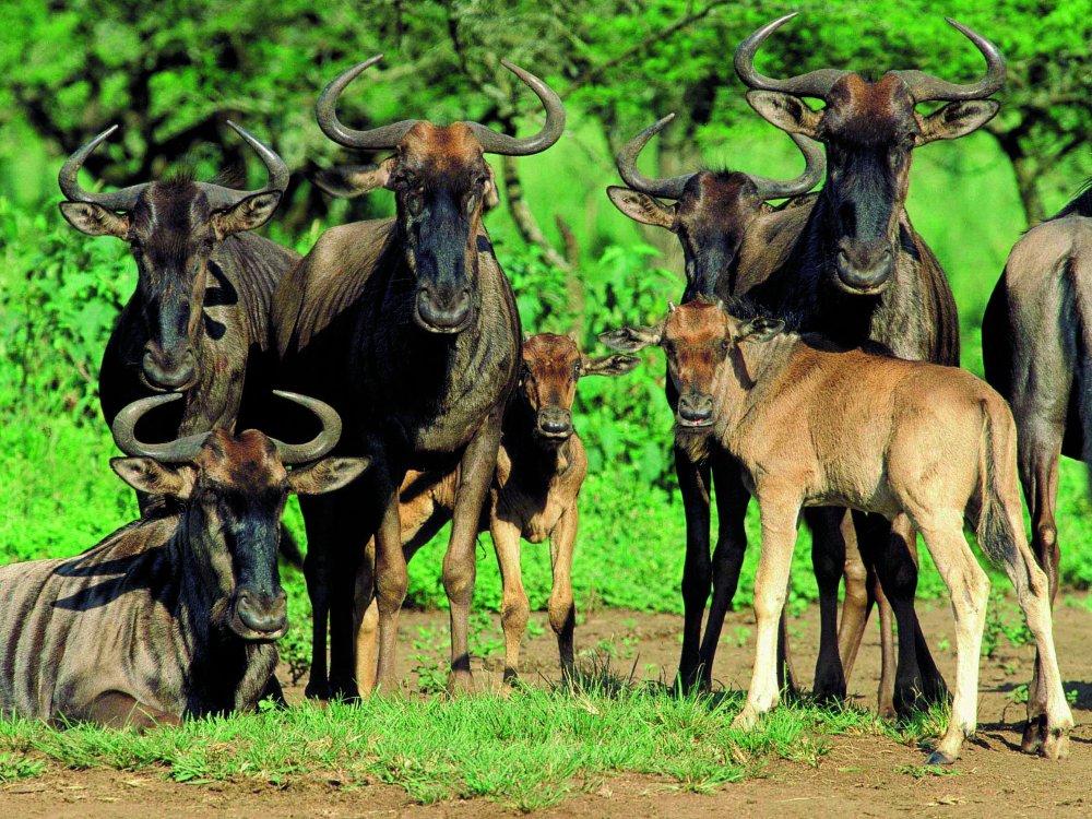 Wildebeest Gnus