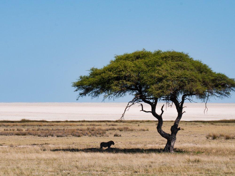 Löwe vor Salzpfanne