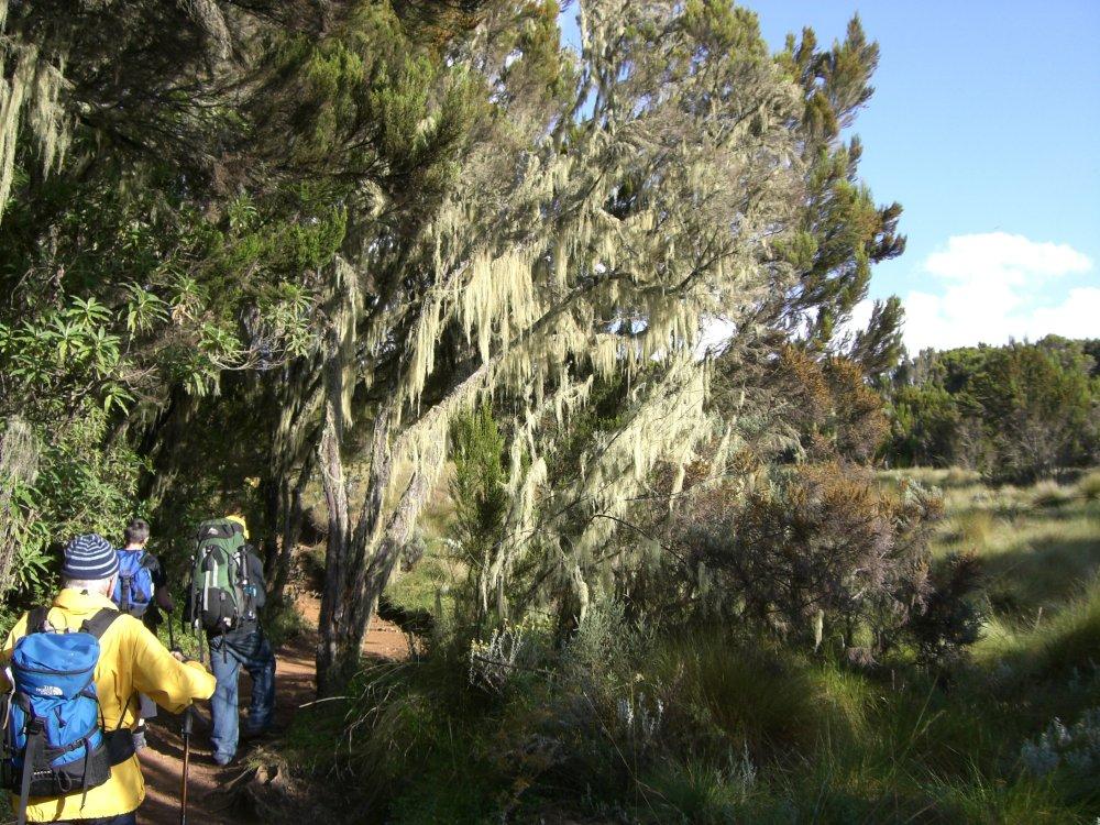 Mit Flechten behangene Bäume im Regenwald am Kilimandscharo