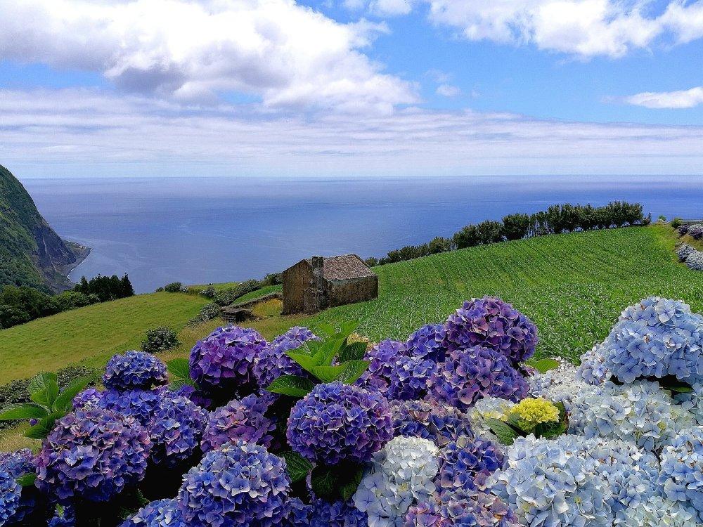 Blaue Hortensien auf Sao Miguel