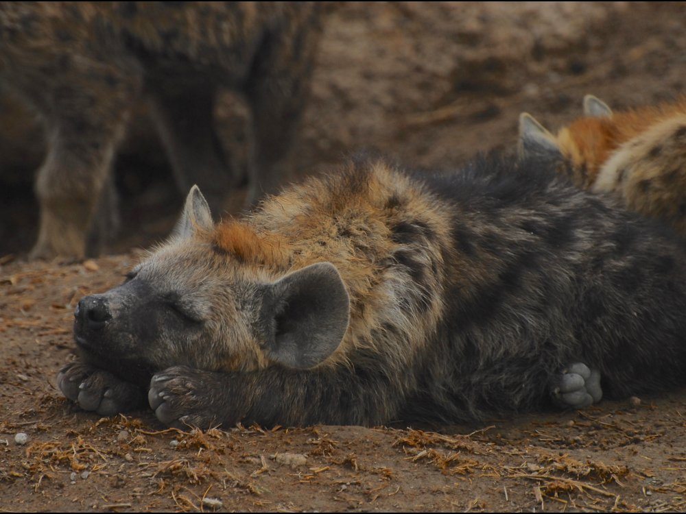 Hyäne im Amboseli Nationalpark