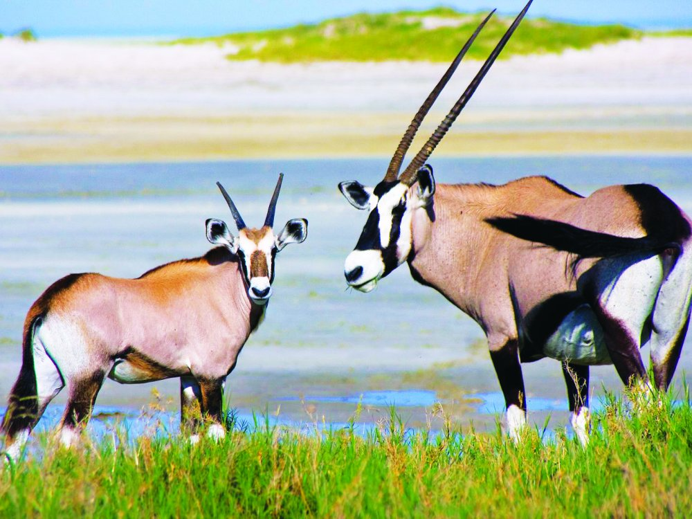 Oryx Antilopen im Namibrand Reservat
