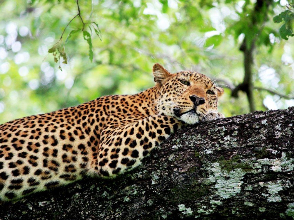 South Luangwa Gepard